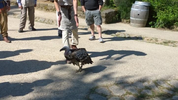 Le puy du fou 2014 vautour évadé