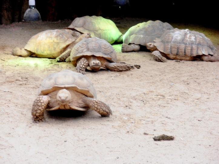 Biotropica juin 2014 les tortues