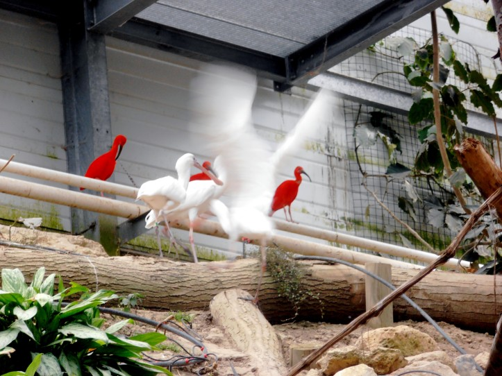 Biotropica juin 2014 enclos ouvert oiseaux fluo orange