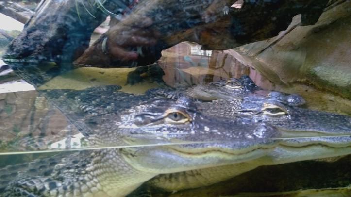 Biotropica juin 2014 petits reptils crocodiles