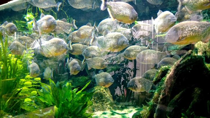 Biotropica juin 2014 Piranhas paillettés